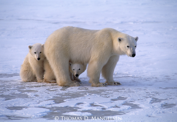Two polar bear cubs peek out from around their mother's legs in Wapusk National Park, Manitoba, Canada.