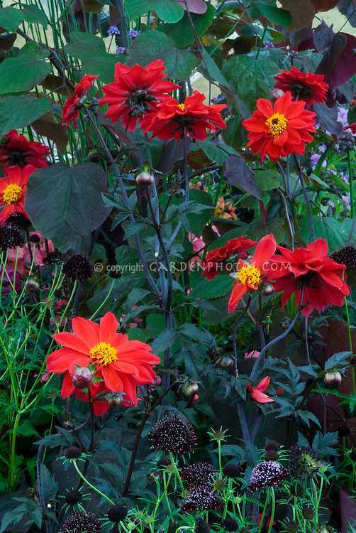 Black Plants: Dahlia Bishop of Llandaff, Scabiosa Chile Black, Cercis Forest Pansy. Semi double anemone type dahlia