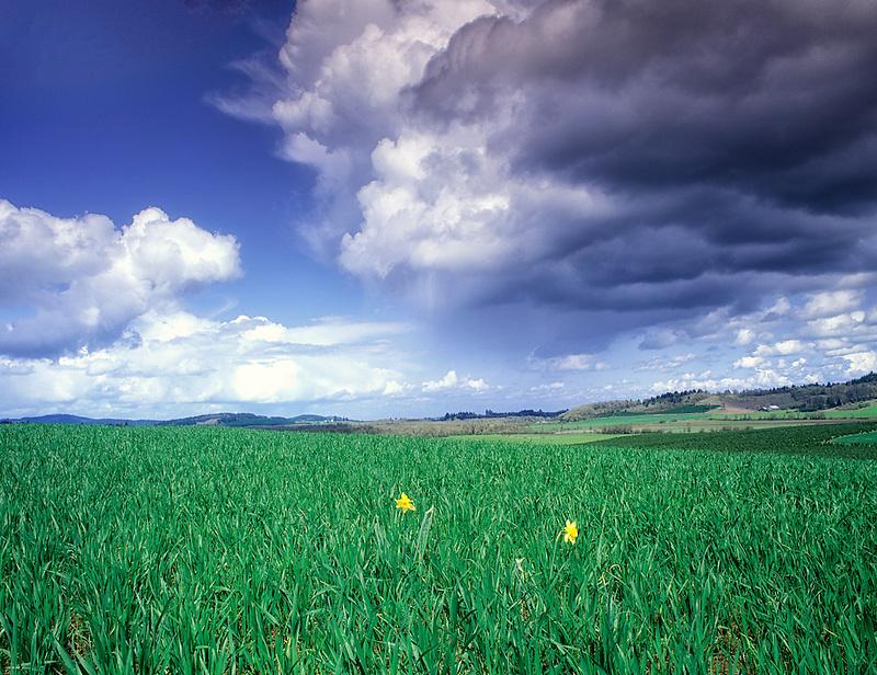V00178M.tif   Daffodils, grass and thunderstorm. Near Alpine, Oregon