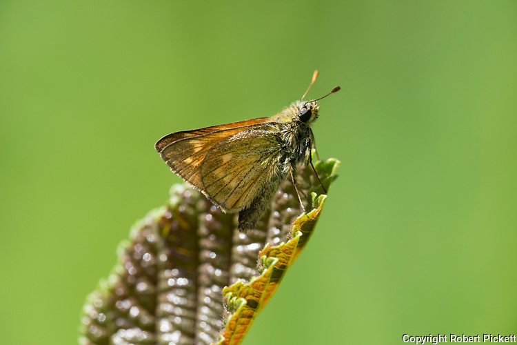 Large Skipper Butterfly, Ocholdes sylvanus, in sunshine on leaf, Monkton Nature Reserve, Kent UK