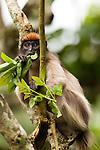 Eastern Red Colobus (Procolobus rufomitratus) feeding on leaves in tree, Kibale National Park, western Uganda