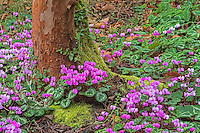 Cyclamen and Stewartia Tree