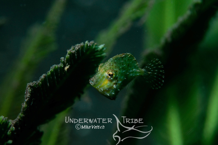 Filefish in seagrass, possibly Rudarius excelsus, a very rare filefish, Raja Ampat, West Papua, Indonesia, Pacific Ocean