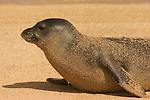 Close-up of a Hawaiian monk seal laying on the beach covered in sand in Kauai, Hawaii.