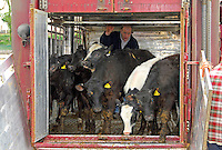 Haulier Steve Williamson unloads Belgian Blue and Limousin cross cattle, part of a consignment of 46 young beef animals from Richard Parker/s dispersal of his High Sunbrick Farm, Bardsea, Ulverston on his retirement.