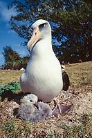 bird, Laysan Albatross, Phoebastria immutabilis, Adult brooding small chick at nest site on Sand Island, Midway Atoll, Papahanaumokuakea Marine National Monumen, Northwestern Hawaiian Islands, or Leeward Islands, Hawaii, USA, Pacific Ocean