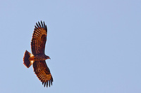 savannah hawk in Pantanal Brazil