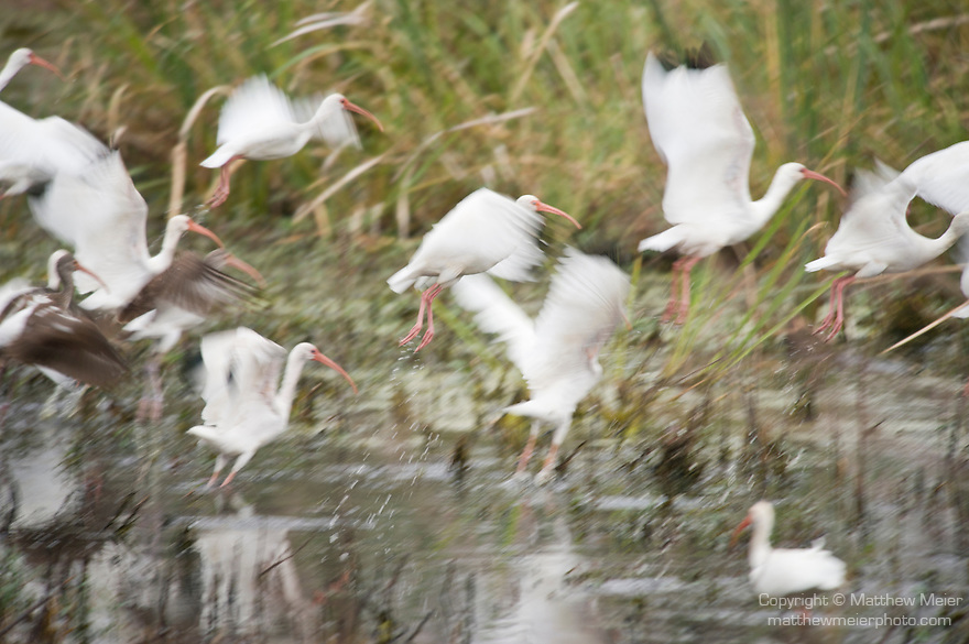 Columbia Ranch, Brazoria County, Damon, Texas; a flock of White ibis (Eudocimus albus) birds take flight above the shallow waters of the slough