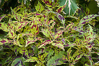 Solenostemon (Coleus) 'Leopard', mottled and splashed leaf colors in red and yellow annual foliage plant, ornamental leaves, resembles animal cat pattern