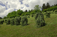 Grass drying in spring meadow, Imst district, Tyrol, Austria.