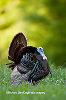 00845-07114 Eastern Wild Turkey (Meleagris gallopavo) gobbler strutting in field, Holmes Co., MS