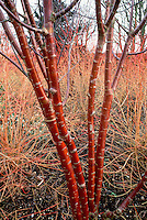 Winter interest bark of Prunus maackii against Cornus sanguinea 'Winter Beauty', Anglesey Abbey