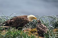 Bald eagle adult feeding eaglet in nest along coastal Alaska.