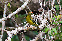 Yellow Oriole, Daintree River, Queensland, Australia