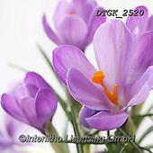 Gisela, FLOWERS, BLUMEN, FLORES, photos+++++,DTGK2520,#f#, EVERYDAY