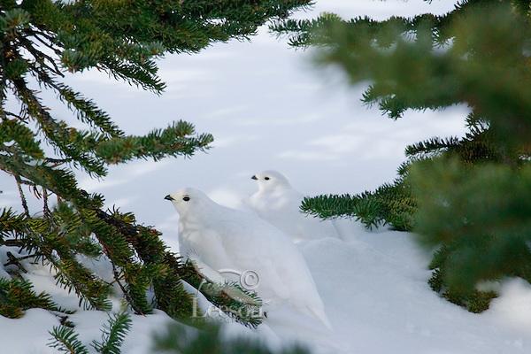 White-tailed Ptarmigans (Lagopus leucurus)