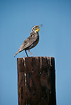 Western meadowlark, Washington