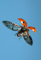 7-spot Ladybird - Coccinella 7-punctata in flight