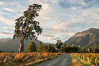 Solitary kahikatea tree on farmland near Haast, South Westland, UNESCO World Heritage Area, South Island, New Zealand, NZ