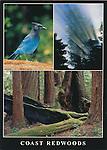 FB 286, 5x7 postcard, coast redwoods