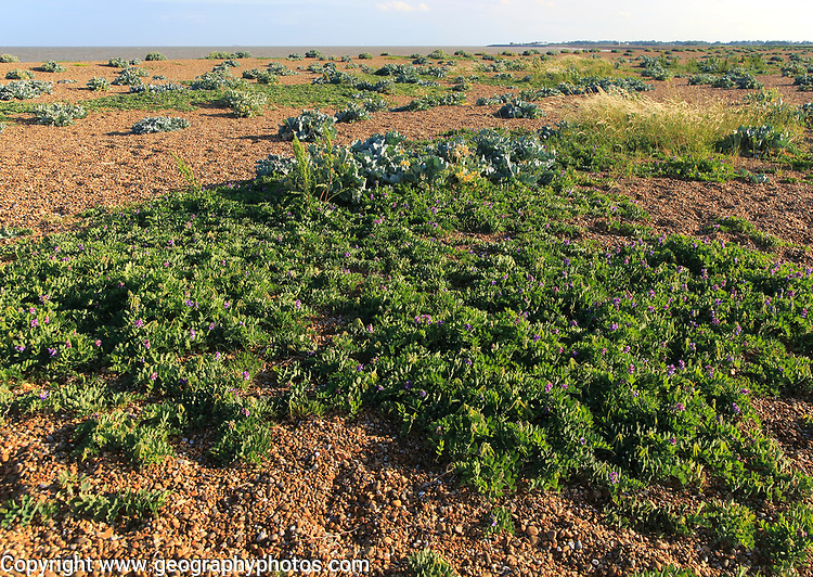 Sea Pea plant, Lathyrus japonicus and sea kale plants, Shingle Street, Suffolk, England, UK