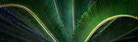 Close up of Sago Palm Tahiti, French Polynesia