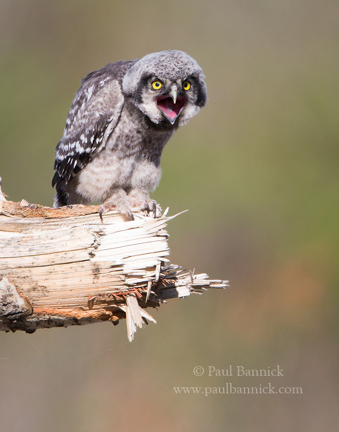 A Northern Hawk Owl fledgling several hours after leaving the nest.