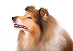 Rough Collie portrait in studio