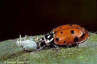1C10-008x  Convergent Ladybug eating insect, Hippodamia convergens
