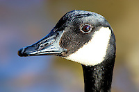 A profile shot of a Canadian Goose head