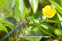 06361-006.01 Common Green Darner (Anax junius) male in wetland, Ballard Nature Center, Effingham Co. IL