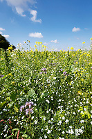Field corner with wild flower mix - Lincolnshire, September