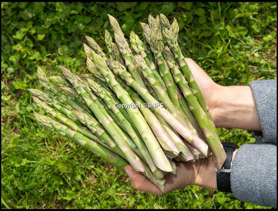 BNPS.co.uk (01202 558833)<br /> Pic: TomWren/BNPS<br /> <br /> Rollercoaster season for asparagus...<br /> <br /> British asparagus growers are about to be speared by a double whammy of bad fortune brought on by the country's up and down weather.<br /> <br /> The short eight-week season for picking the delicacies should have begun in the last week of April but farmers were forced to shelve their harvest for two weeks because of the chilly start to spring.<br /> <br /> Because the asparagus season comes to a strict end on June 21, the delay means overall yield will be lower this season hitting growers in the pocket.<br /> <br /> But in a second set-back they are now forecasting plummeting prices due to a sudden glut of asparagus caused by warmer weather over the last fortnight flooding the market.
