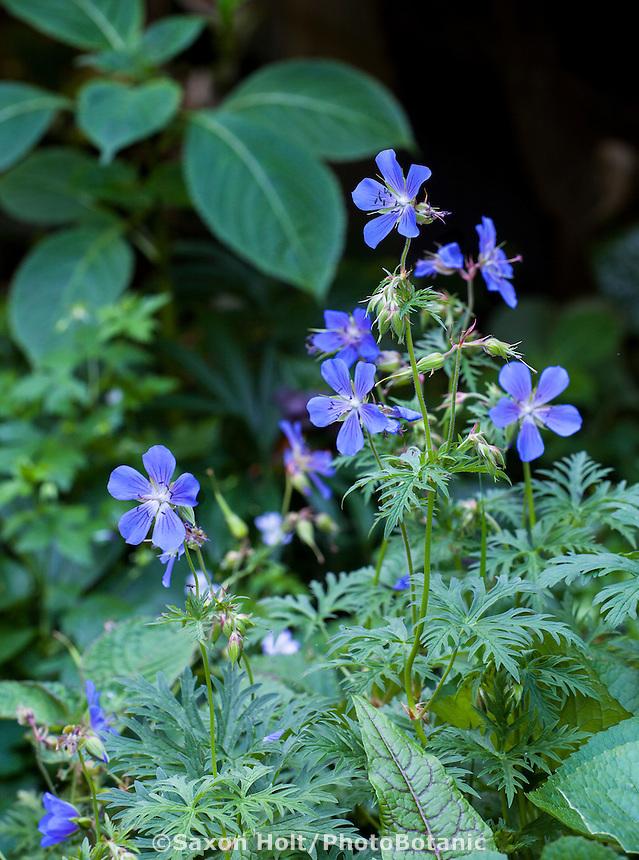 Geranium 'Kashmir Blue', perennial flower in Robin Parer Garden