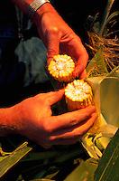 Examining the insides of an ear of corn split in half.