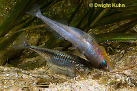 1S55-520z  Threespine Stickleback, gravid female entering male's nest to lay her eggs, Gasterosteus aculeatus, Freshwater male - Marine female