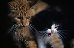 Two domesticated cats hissing at neighborhood dog Snohomish Washington State USA