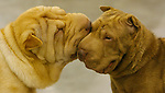 """Puppy Love""...Calente a male Chinese Shar Pei nuzzles ""Fudge"", a female of the same breed, both owned by Patricia Holmes. The final day of the Reliant Park World Series of Dog Shows was held at Reliant Center. (Sunday, July 22, 2007, in Houston. ( Steve Campbell / Chronicle)"