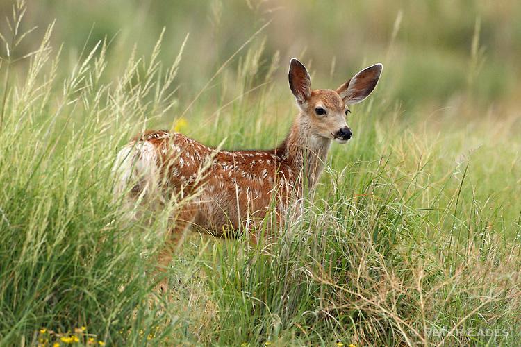 Mule Deer Fawn in Tall Grass
