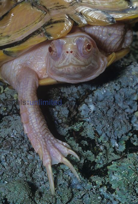 An albino Red-Eared Slider Turtle ,Chrysemys scripta elegans,, USA.