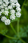 Hemlock water dropwort, Oenanthe crocata in Hay Meadow - Clattinger farm, Wiltshire. This habitat has been reduced in the UK through intensified farming by 98% since the second world war and is highly endangered.