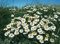 Sea Mayweed - Tripleurospermum maritimum. Height to 60cm. Similar to Scentless Mayweed but more branched and spreading; grows mainly on coastal shingle and sand. FLOWERS are borne in clusters of solitary, long-stalked heads, 20-40mm across, with yellow disc florets and white ray florets (Apr-Oct). No scales between disc florets. Receptacle is domed and solid. FRUITS are achenes. LEAVES are much-divided into cylindrical and fleshy segments.