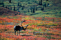 A muture caribou crosses a landscape of fall colored tundra in Denali National Park in central Alaska. The velvet on his atlers is coming off as the rutting season is near