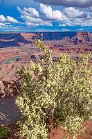 Cliffrose at Dead Horse Point State Park, Utah, Colorado River canyons near Moab, Utah purshia mexicana