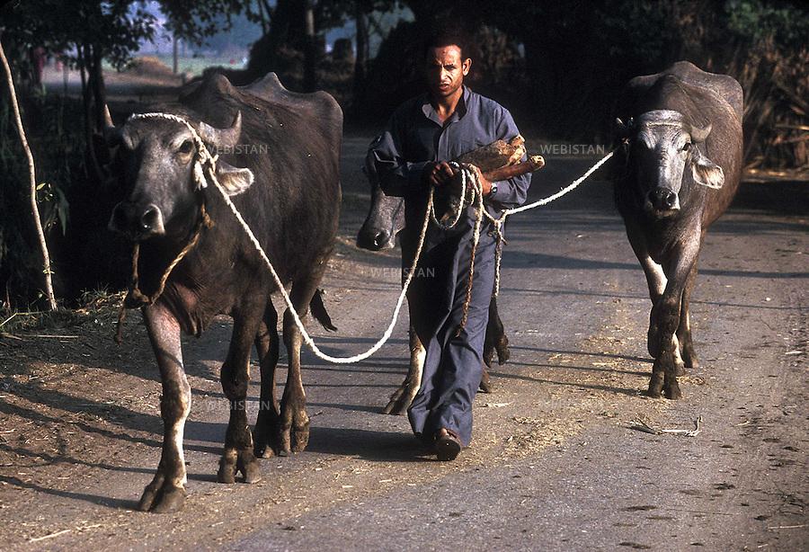 Egypt. Nile Delta. 1996... An Egyptian farmer goes to the fields with his oxen...Egypte. Delta du Nil. 1996. Un paysan egyptien part aux champs avec ses boeufs.
