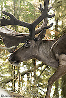 Woodland caribou in Slate Islands Provincial Park