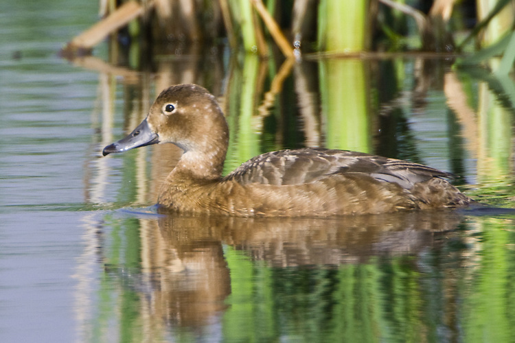 Redhead duck hen swimming on a lake