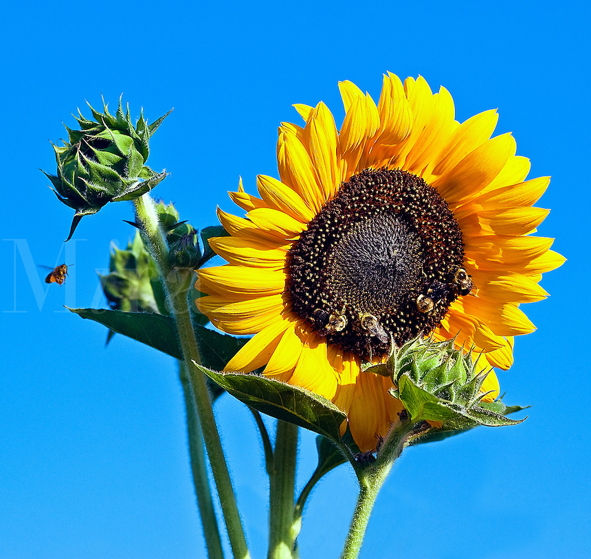 Sunflower with bee.
