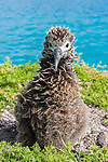 A Laysan Albatross (Phoebastria immutabilis) chick. Midway Atoll National Wildlife Refuge.