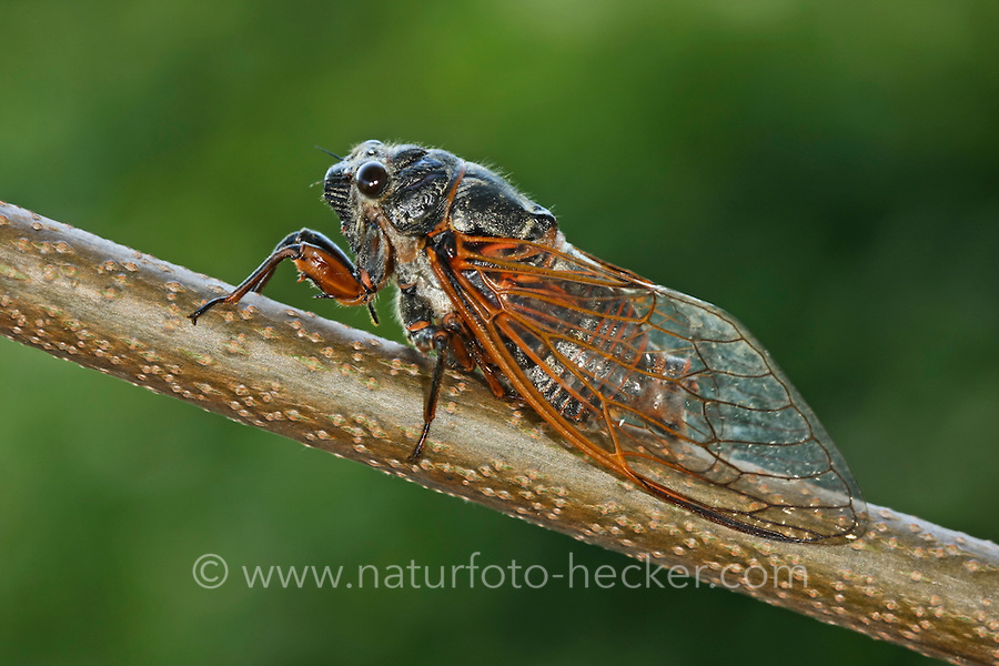 Blutrote Singzikade, Blutaderzikade, Blutader-Zikade, Tibicina haematodes, Palaearctic red cicada, la cigale rouge paléarctique